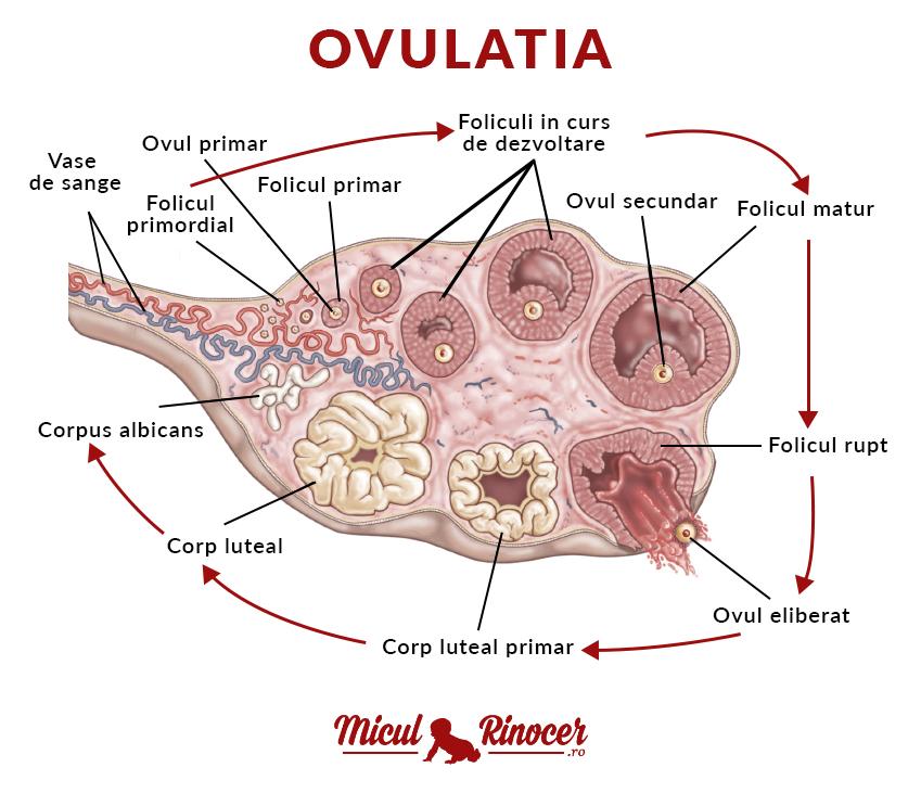 ovulația în timpul unei erecții cum se mărește penisul și penisul