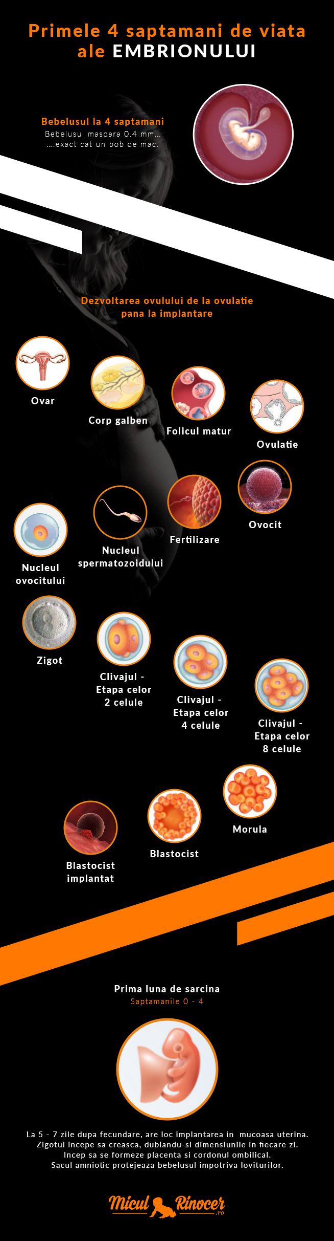 Infografic ce arata evolutia embrionului in primele 4 saptamani de viata